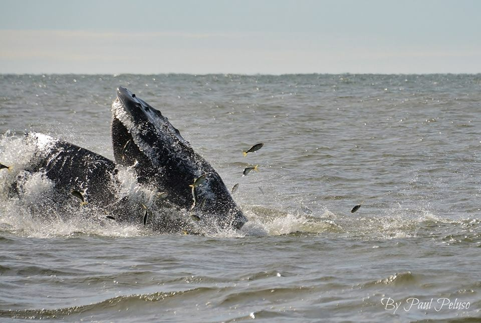 Humpback whale visits Smith Point, October 2018