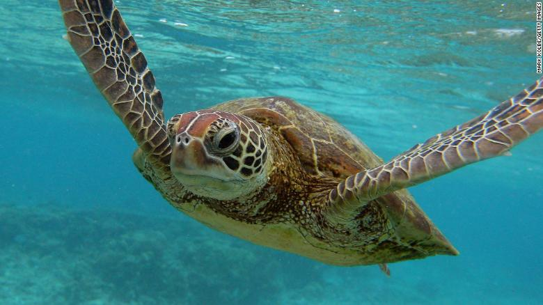 Sea turtles struggle years after unexplained die-off ...